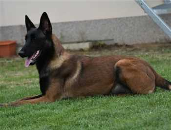 فروش سگ امدادگر محبوب (بلژین مالینویز)