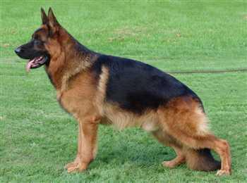 سگ ژرمن شپرد مولد