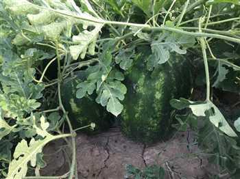 فروش هندوانه درجه یک صادراتی فارس