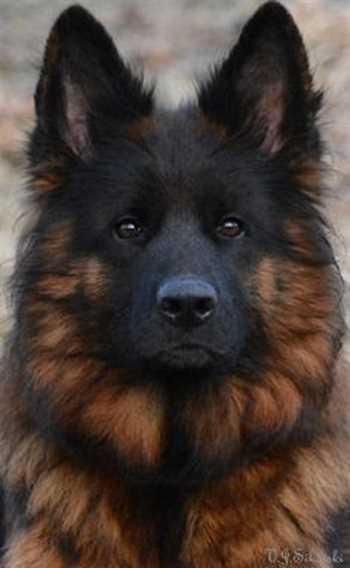 توله سگ ژرمن شپرد-خرید و فروش سگ ژرمن توله و بالغ