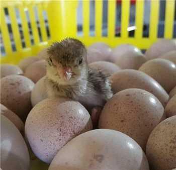 فروش تخم نطفه دار/قرقاول/انواع نژادها