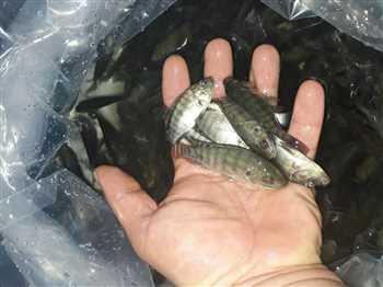 بچه ماهی تیلاپیا