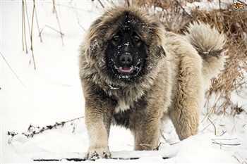 سگ نگهبان و غول پیکر قفقازی