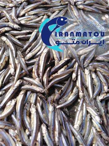ماهی خشک متو , anchovy or anchovies