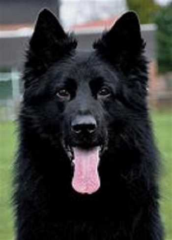 فروش سگ ، سگ ژرمن شپرد بلک اصیل