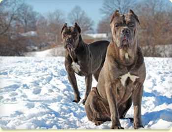 فروش سگ کن کورسو بالغ