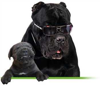 فروش سگ کنکورسو بالغ