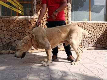خرید و فروش سگ آلابای اصیل و قهرمان