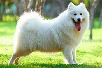 خرید و فروش سگ ساموویید  اصیل وزیبا